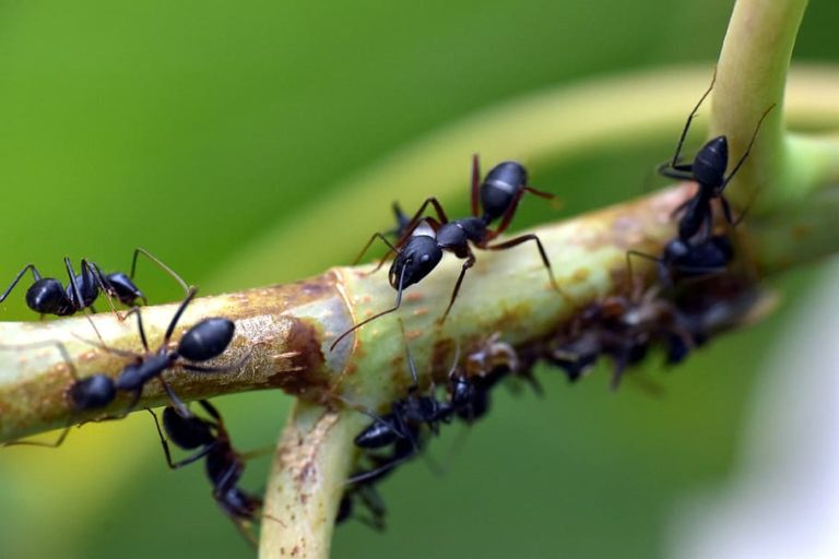 Black ants on stalk
