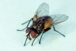 common house fly a commercial pest