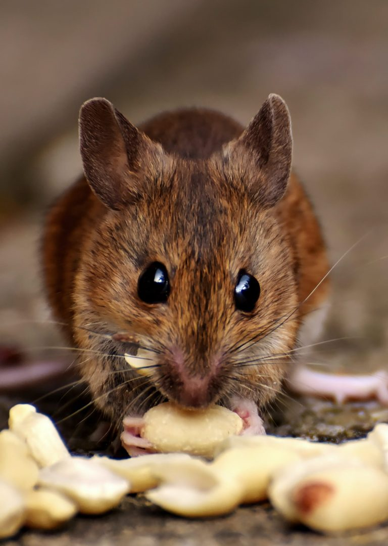 Brown rat eating nuts