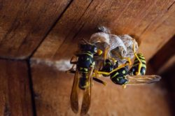 image of yellow jacket wasps building a nest