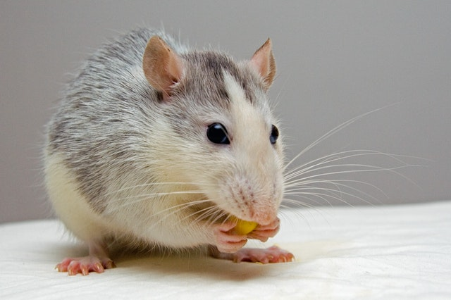 Rat pest eating nuts
